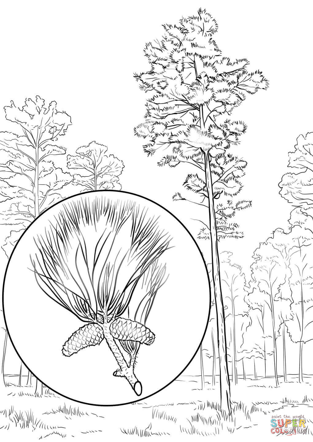 1020x1440 Loblolly Pine Coloring Page Free Printable Coloring Pages