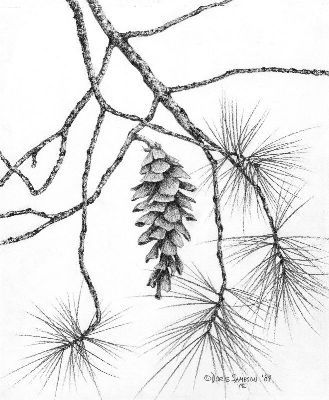 329x400 Pencil Drawing Series Memories Of A Pine Forest