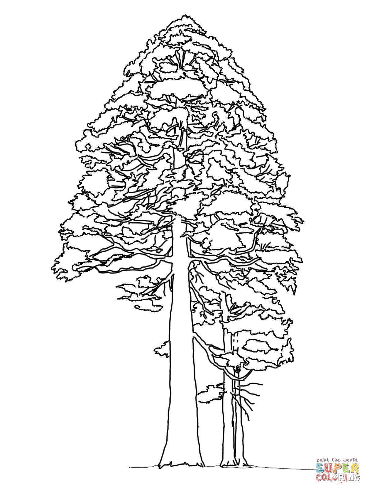 1200x1600 Giant Sequoia Or Redwood Coloring Page Free Printable Coloring Pages