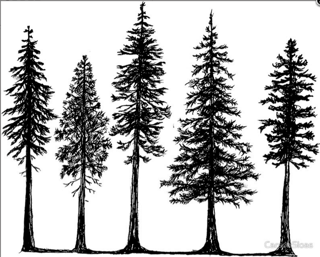 Line Drawing Tree Tattoo : Pine tree line drawing at getdrawings free for