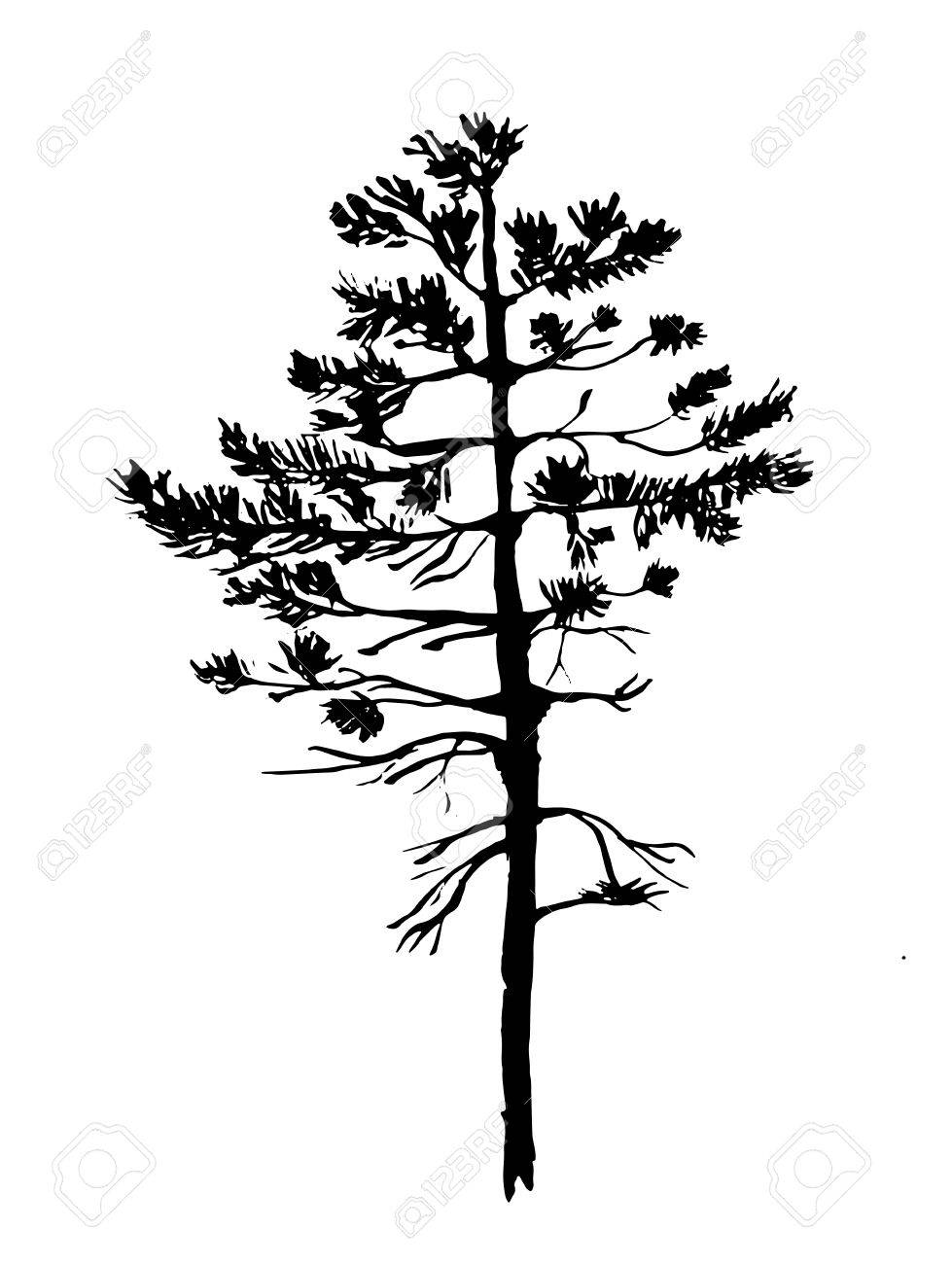 979x1300 Young Pine Tree With Needles Sketch Graphics Vector Illustration