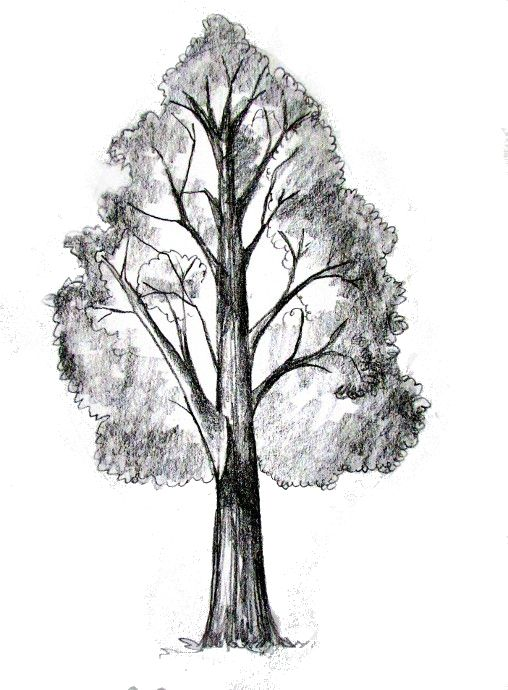 Pine Tree Pencil Drawing