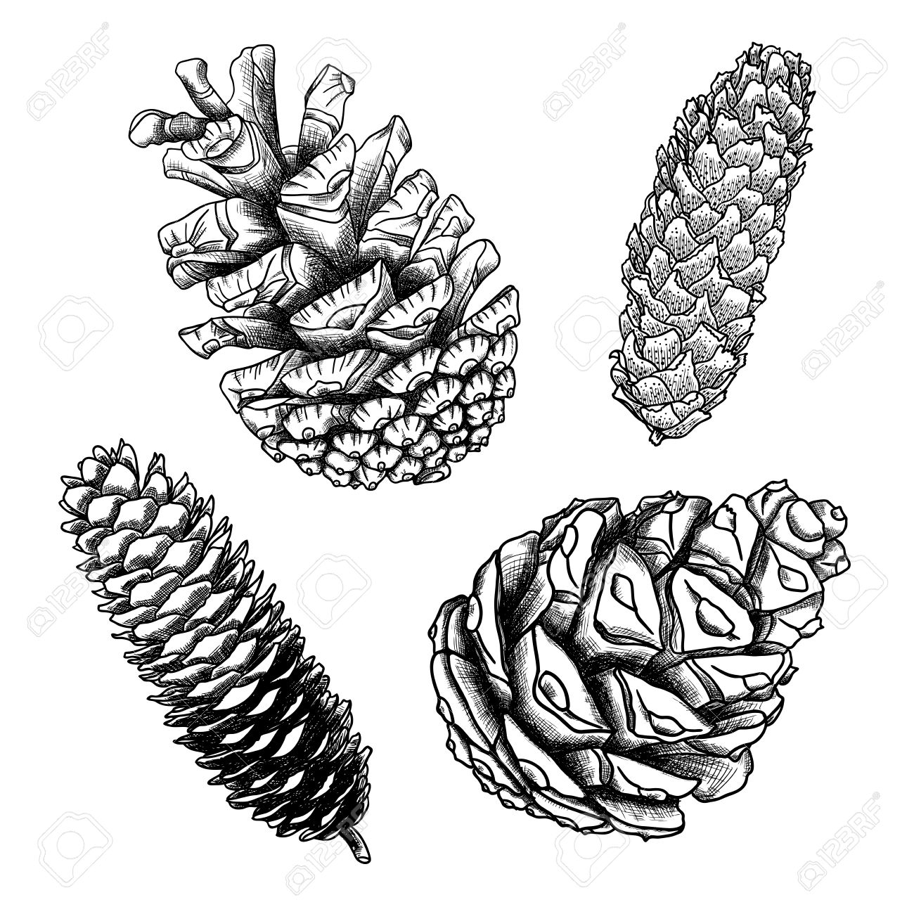 1300x1300 Set Of Sketch Hand Drawing Pine Cones On White Background