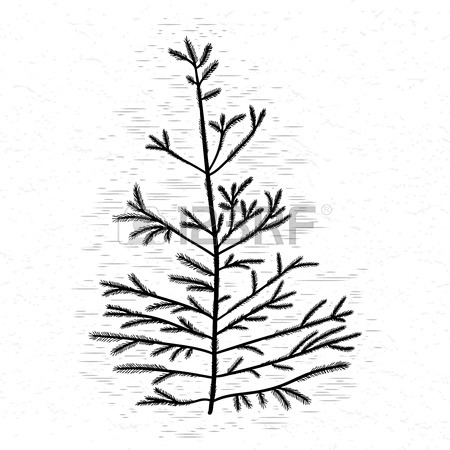 Pine Trees In Pencil Drawing