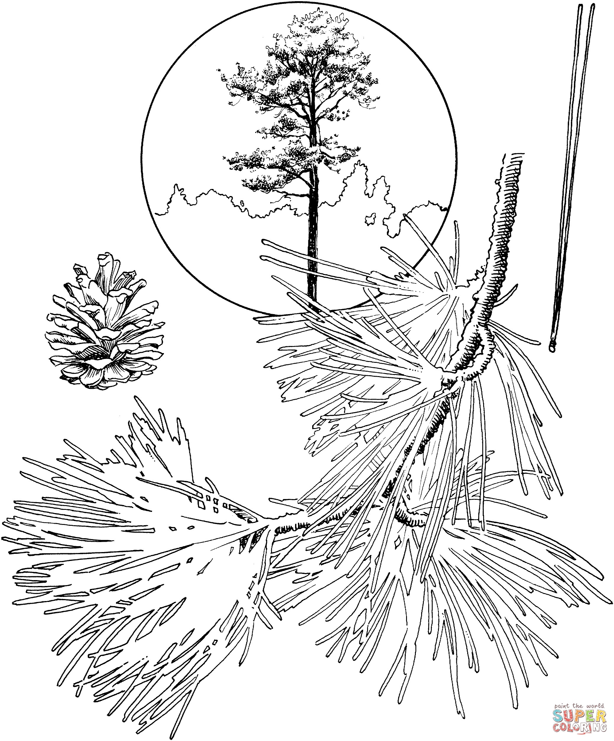 2079x2510 Coloring Pages Evergreen Trees New Coloring Pine Tree Coloring