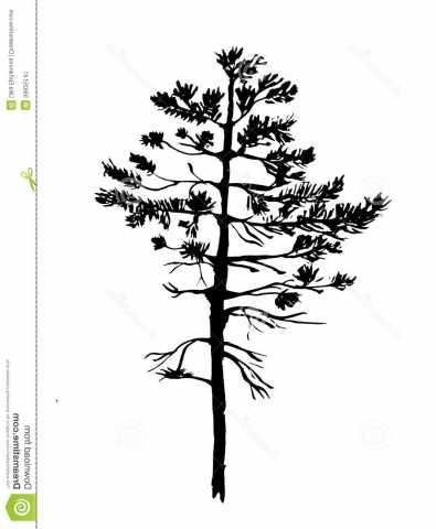 395x480 Matching Drawn Pine Tree Red Pine