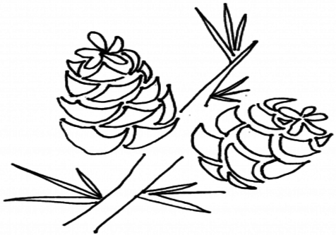 476x333 Pine Cone Coloring Page Pages Hicoloringpages