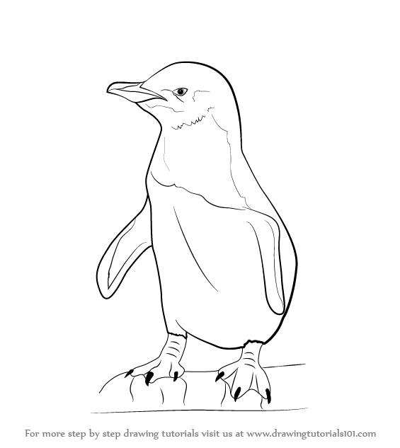 565x633 Learn How To Draw A Little Blue Penguin (Antarctic Animals) Step