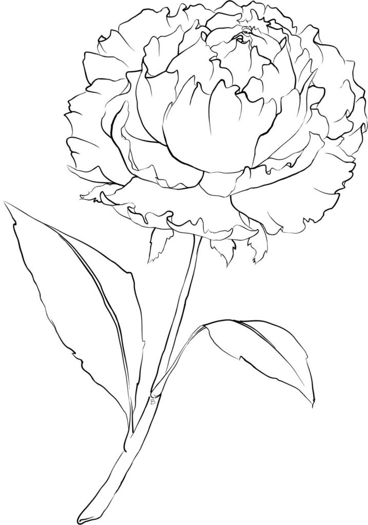 pink carnation drawing at getdrawings com free for personal use