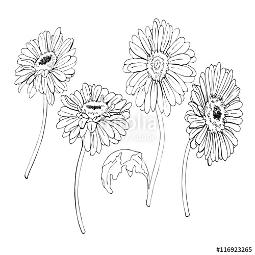 500x500 Gerbera Daisy Or Chamomile Flowers Drawn By Ink. Hand Drawn Vector