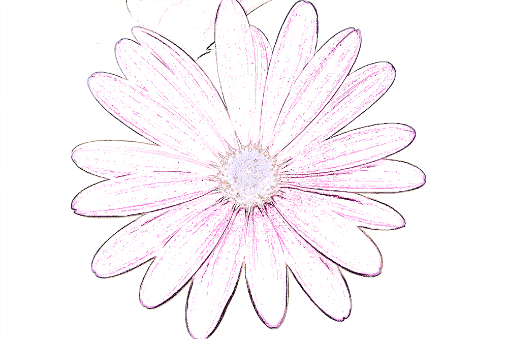 Pink Daisy Drawing at GetDrawings com | Free for personal use Pink