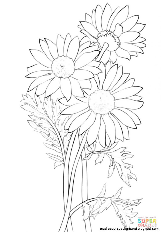 555x800 Daisy Drawings With Color Wallpapers Background