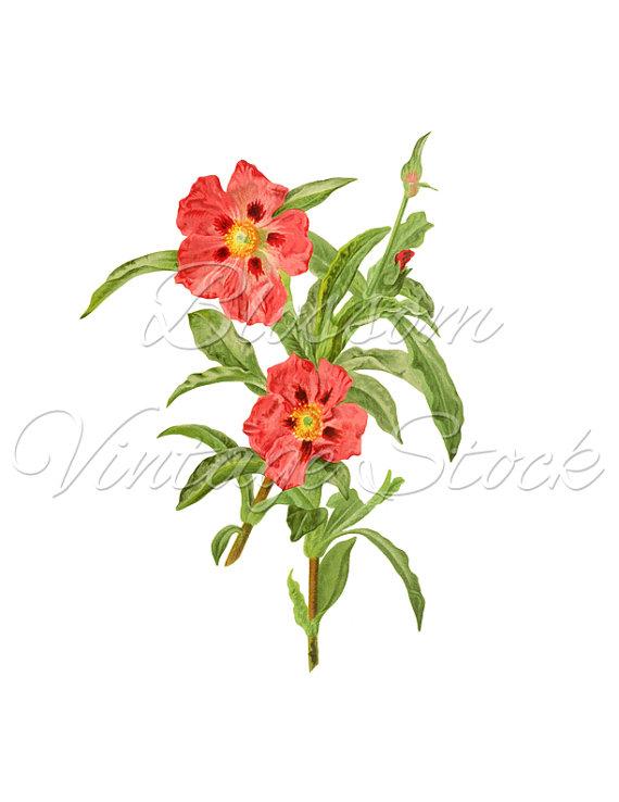 570x738 Floral Clip Art, Flower Illustration, Botanical Vintage Pink