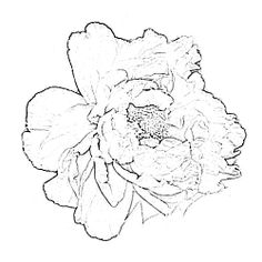 236x236 Peony Drawing Pink Peony Blossom Photograph By Mary Sedivy