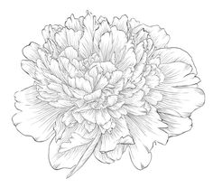 236x208 Pink Peony Sketch Floral Peony And Tattoo
