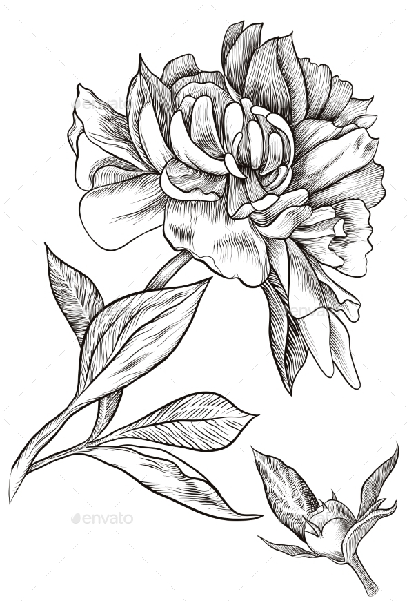 590x870 Graphicriver Peony Bud Blossomed 11522973 Maq Amp Jees