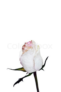 213x320 Single Pink Rose Bud On A Green Stalk Isolated On White Background