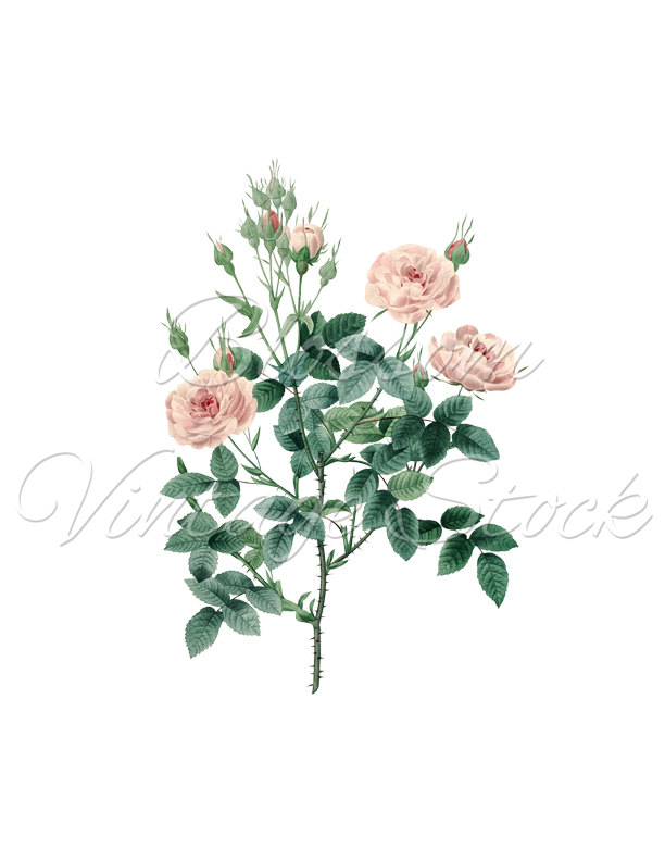 Pink Roses Drawing At Getdrawings Com Free For Personal Use Pink