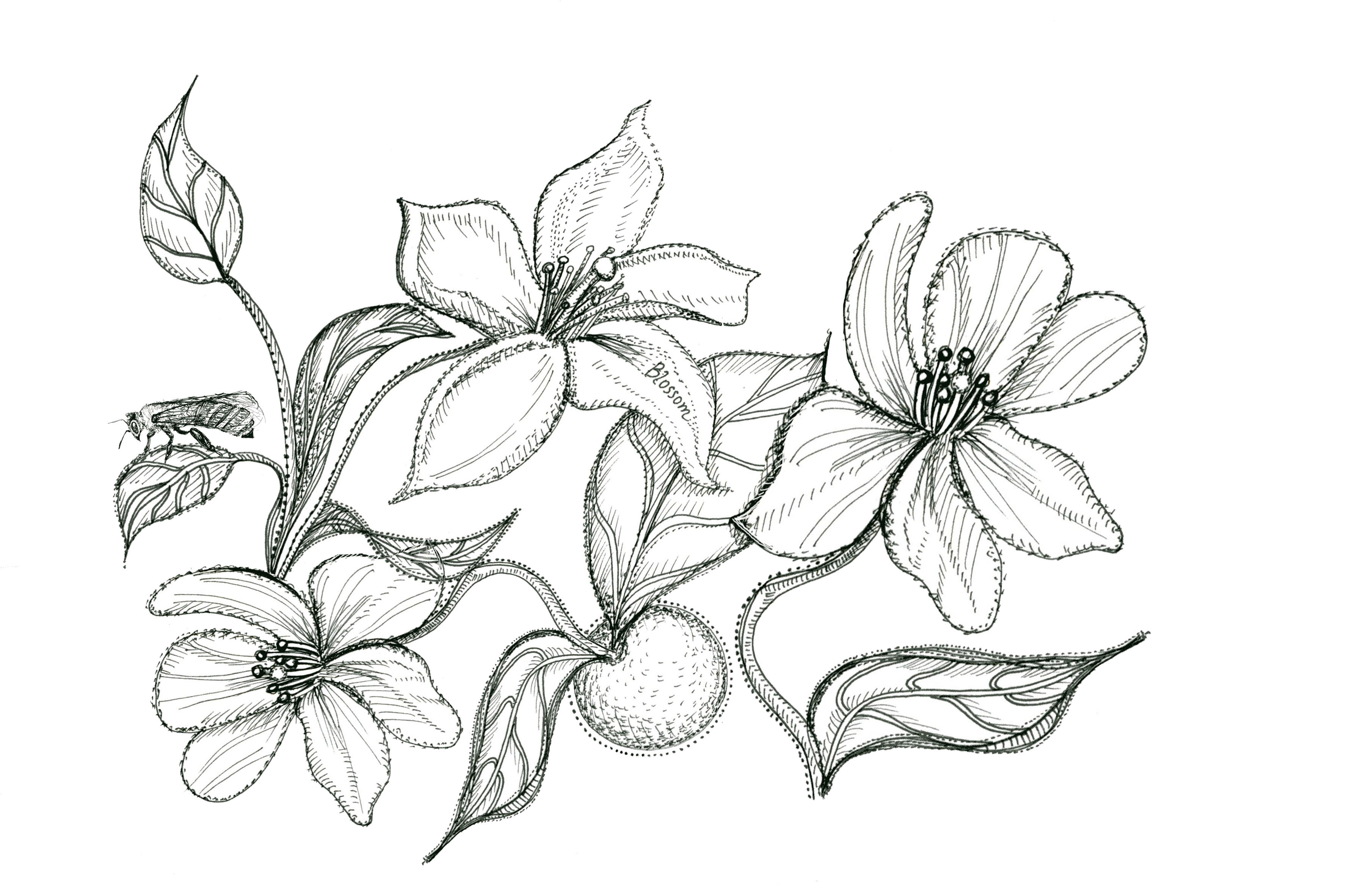 3600x2364 Orange Blossom Flower Drawing Sketch Coloring Page View Larger