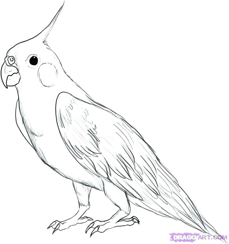 Pirate parrot drawing at free for for Coloring page parrot