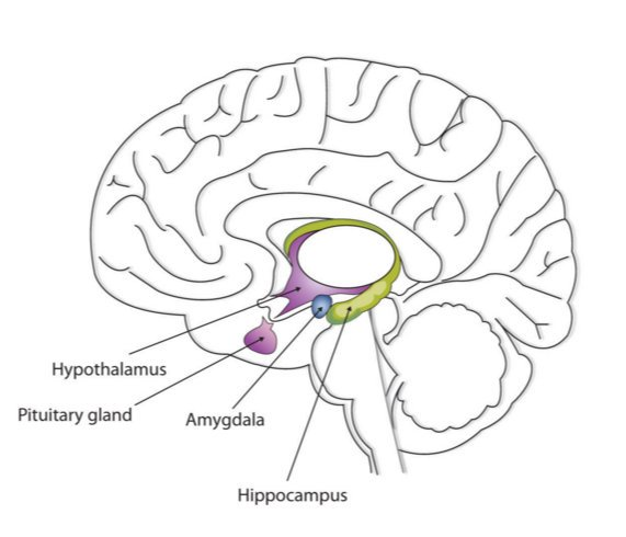 Pituitary Gland Drawing
