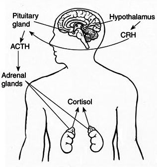 316x336 Poor Adrenal Function Can Mimic Or Contribute To Poor Thyroid
