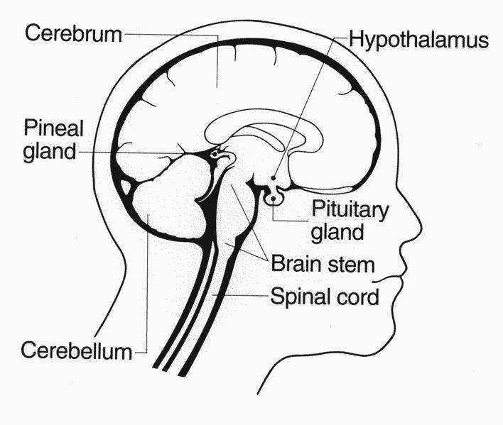 Pituitary gland drawing at getdrawings free for personal use 708x599 simple brain diagram diagrams for all ccuart Choice Image