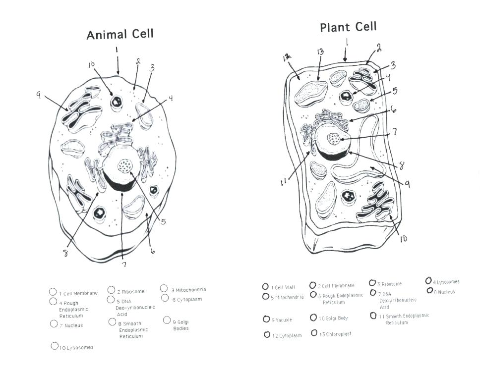 970x749 Plant Vs Animal Cell Coloring Plant And Animal Cell Coloring Page