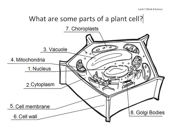 564x434 Plant Cell Coloring And Structure Identification Cells