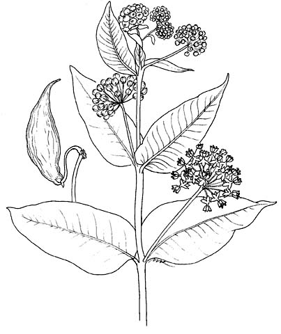 403x480 Plant Illustrations By Mimi Kamp