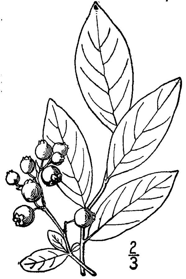 600x900 Large Image For Vaccinium Caesariense (New Jersey Blueberry