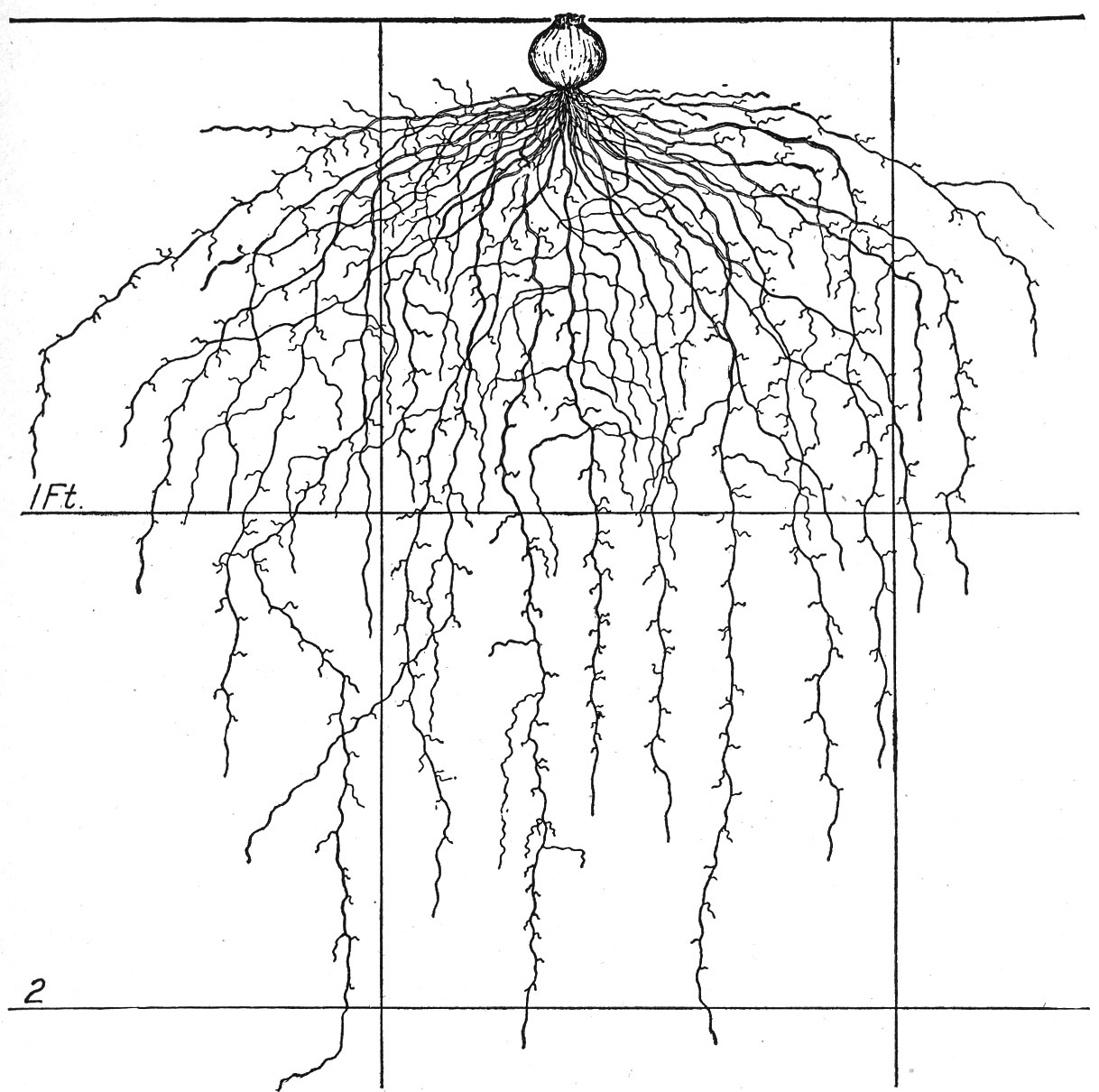 1218x1210 The Root Development Of Vegetable Crops Astonishing Illustrations