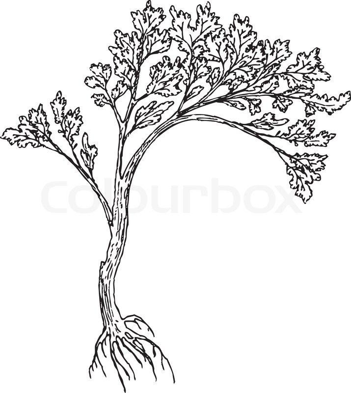 715x800 Big Tree With Rootsnd Leaves. Drawing Made U200bu200bby Hand Without