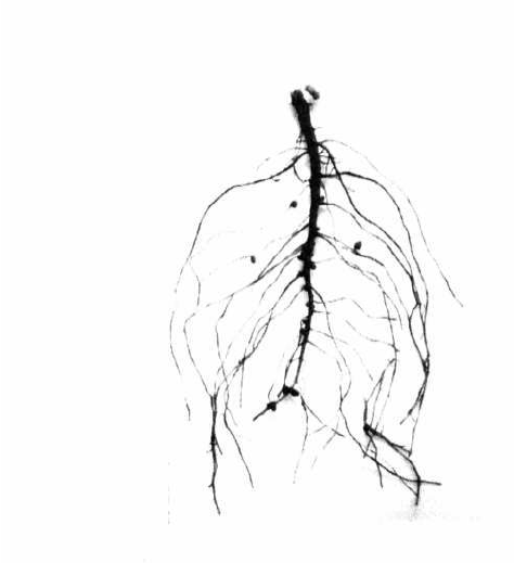 Plant Roots Drawing At Getdrawings Com