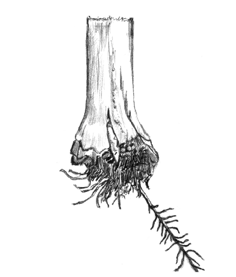 482x564 Drawing Of The Basal Region Of A Flowering, One Rooted Maize Plant