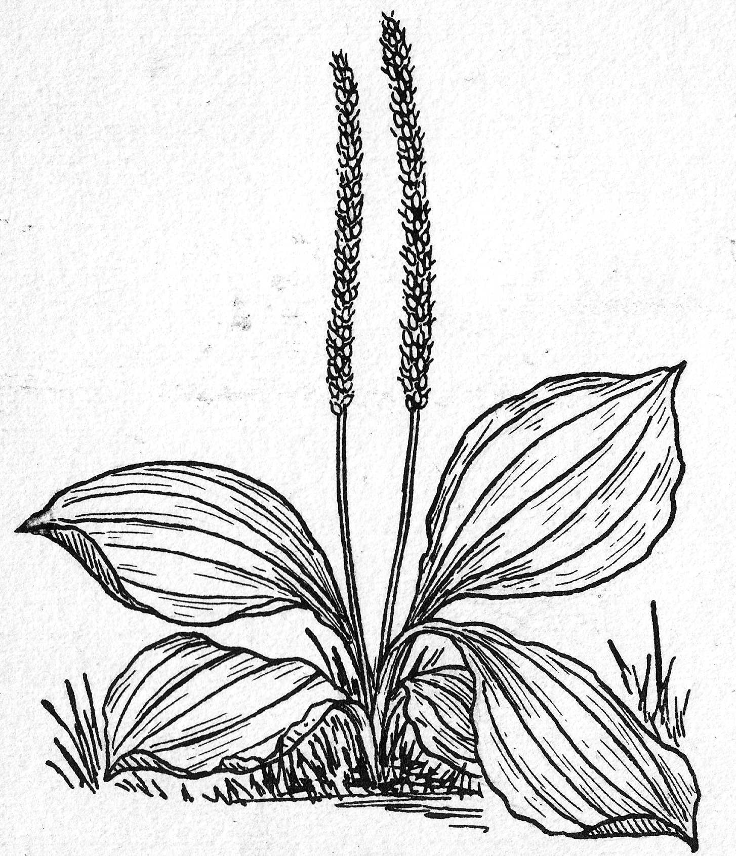 1454x1691 Fileplantain (Line Art) (Psf P690007 (Cropped)).png