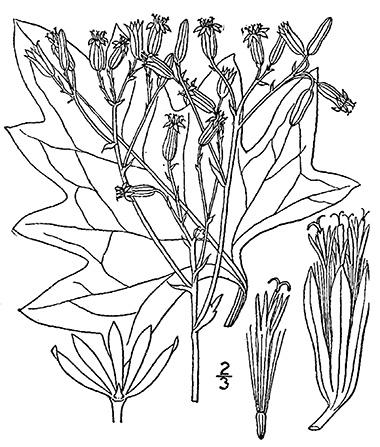 380x447 Great Indian Plantain, Arnoglossum Reniforme (Hook.) H. Rob. Pale