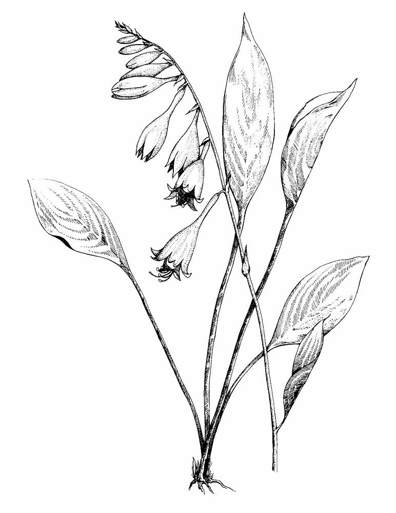 772x1000 Hosta Lancifolia (Narrow Leaved Plantain Lily) Go Botany