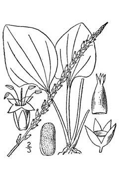 240x360 Plantago Rugelii Blackseed Plantain Pfaf Plant Database