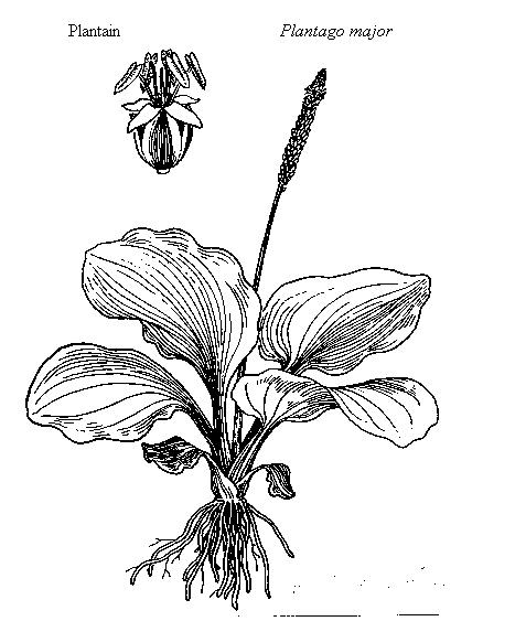 477x573 Plantain, Plantago Major (Plantaginaceae)