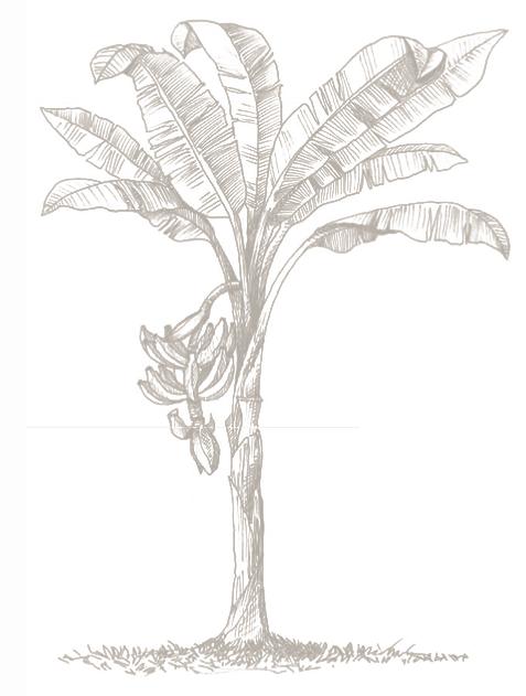 477x631 Plantain