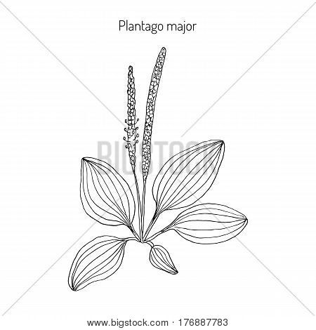 450x470 Plantain Images, Illustrations, Vectors