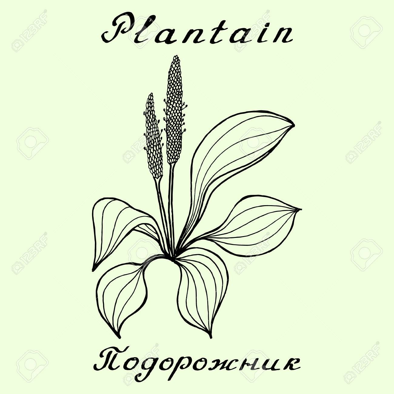 1300x1300 Plantain. Ink Drawing And Lettering. English And Russian Texts