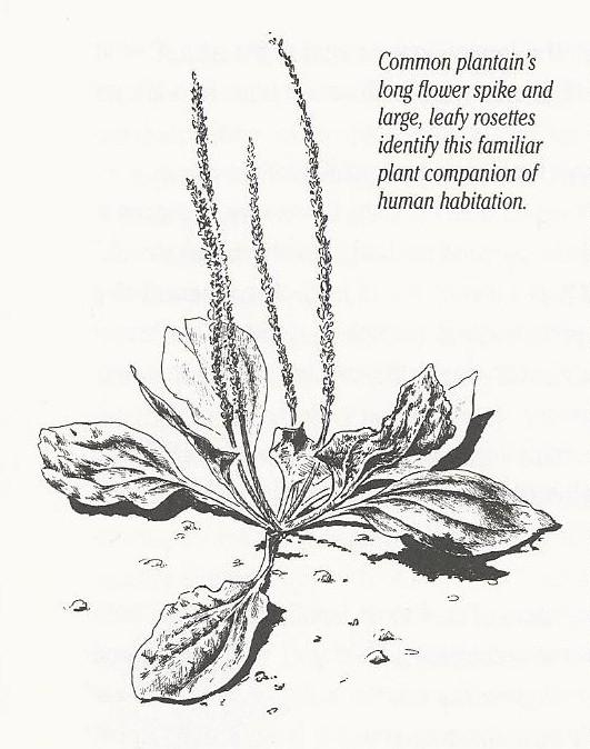 531x674 Summer Of Weeds Plantains Awkward Botany