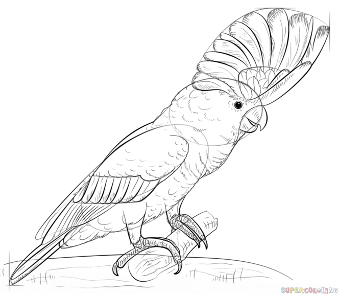 662x575 How To Draw A White Cockatoo Step By Step Drawing Tutorials