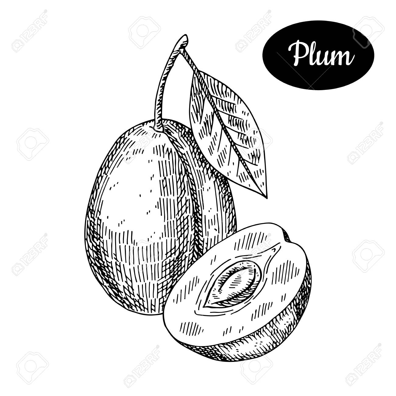 1300x1300 Fresh Plum. Hand Drawn Sketch Style Tropical Summer Fruit Vector