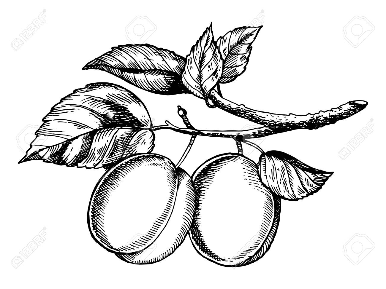 1300x975 Plum Fruit On Tree Branch Engraving Vector Illustration. Scratch
