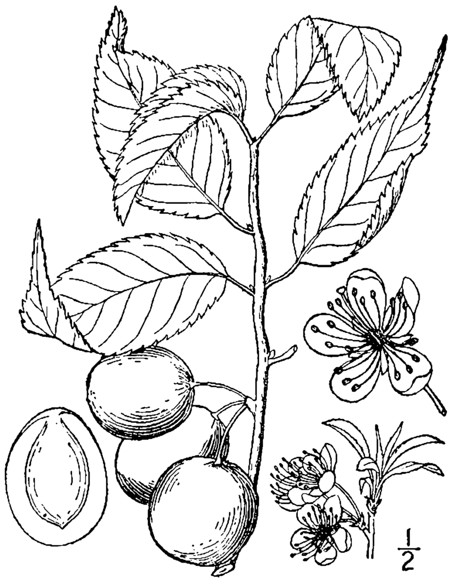1548x2000 Fileprunus Americana Drawing.png