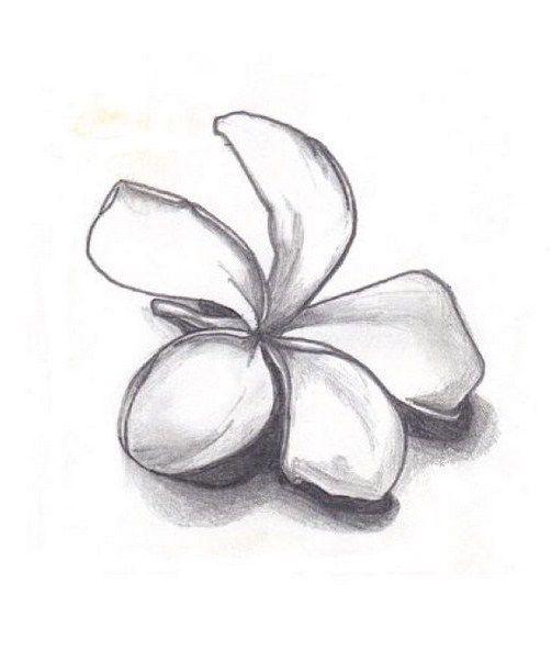 Plumeria Drawing