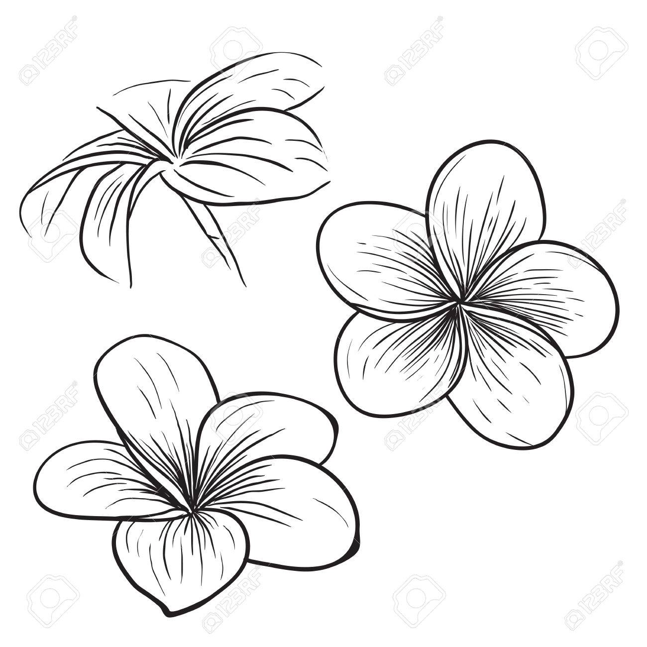 Hawaiian Flower Line Drawing : Plumeria line drawing at getdrawings free for